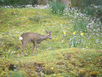 Deer in back garden at Gowanbrae B&B Fort William